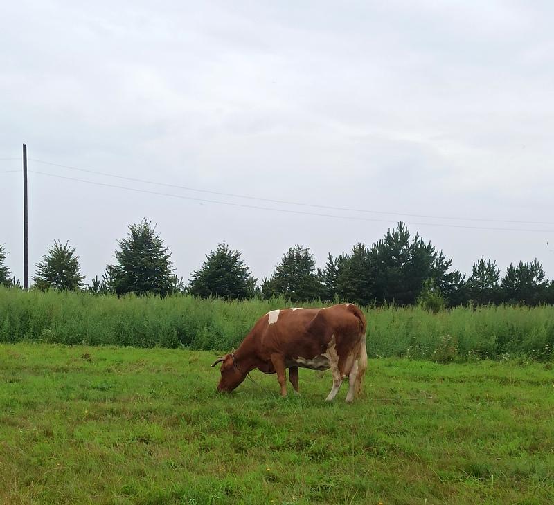 Корова в Родне